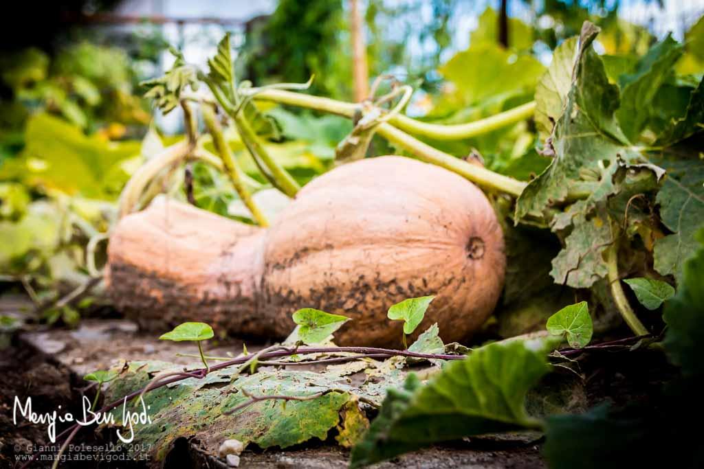Zucca violina: coltivazione in orto